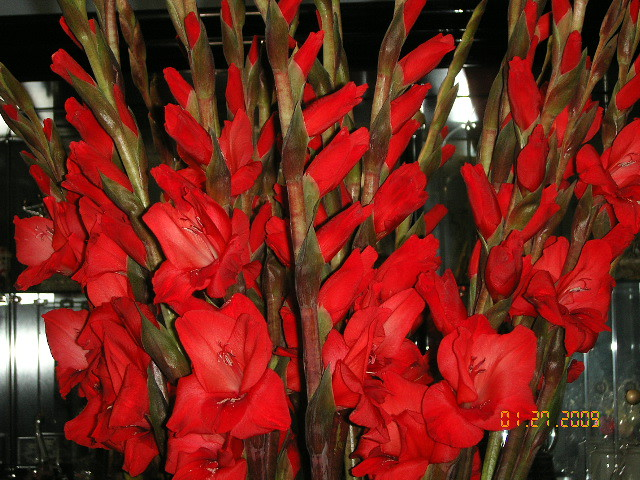 hoa hue do  cy hoa hu   chng tt trong nh ngui