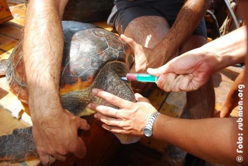 Extracción de sangre en tortuga marina