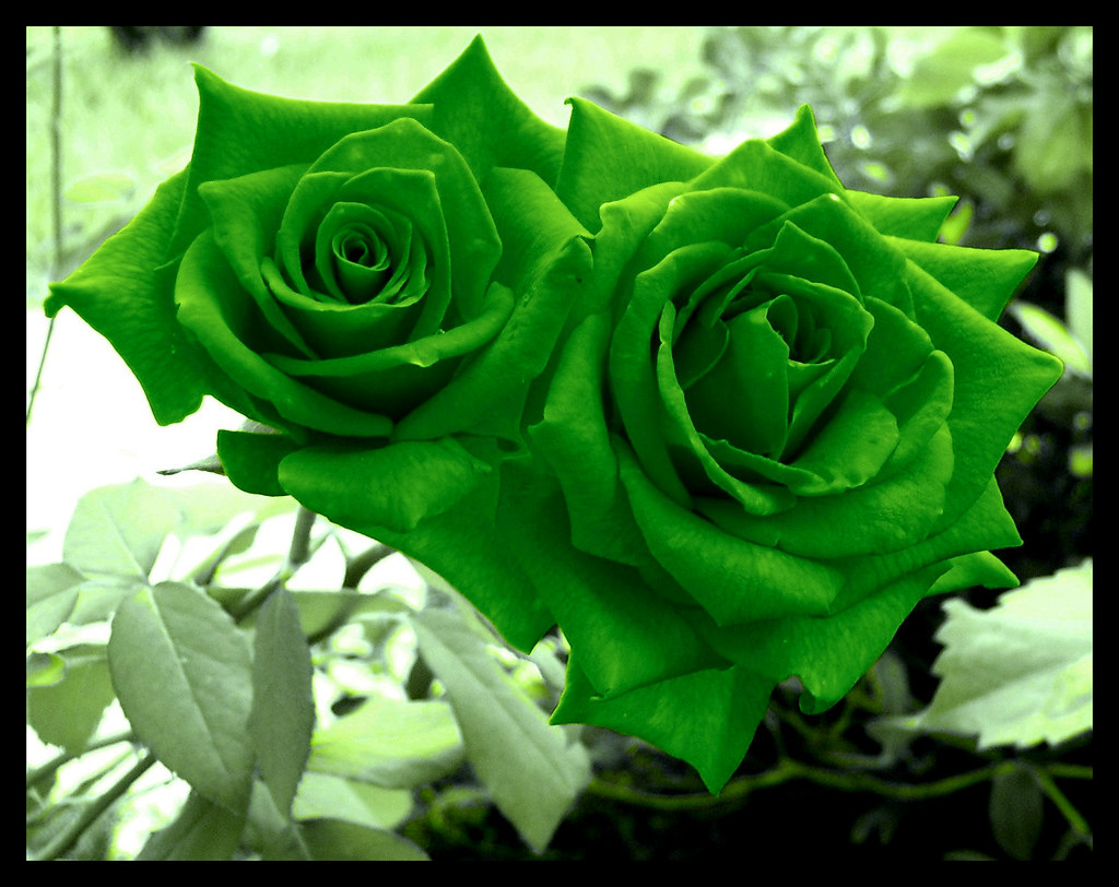 Green Roses  They were initially orangered I edited the