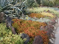 Succulent ground cover in colors, Huntington Library Deser ...