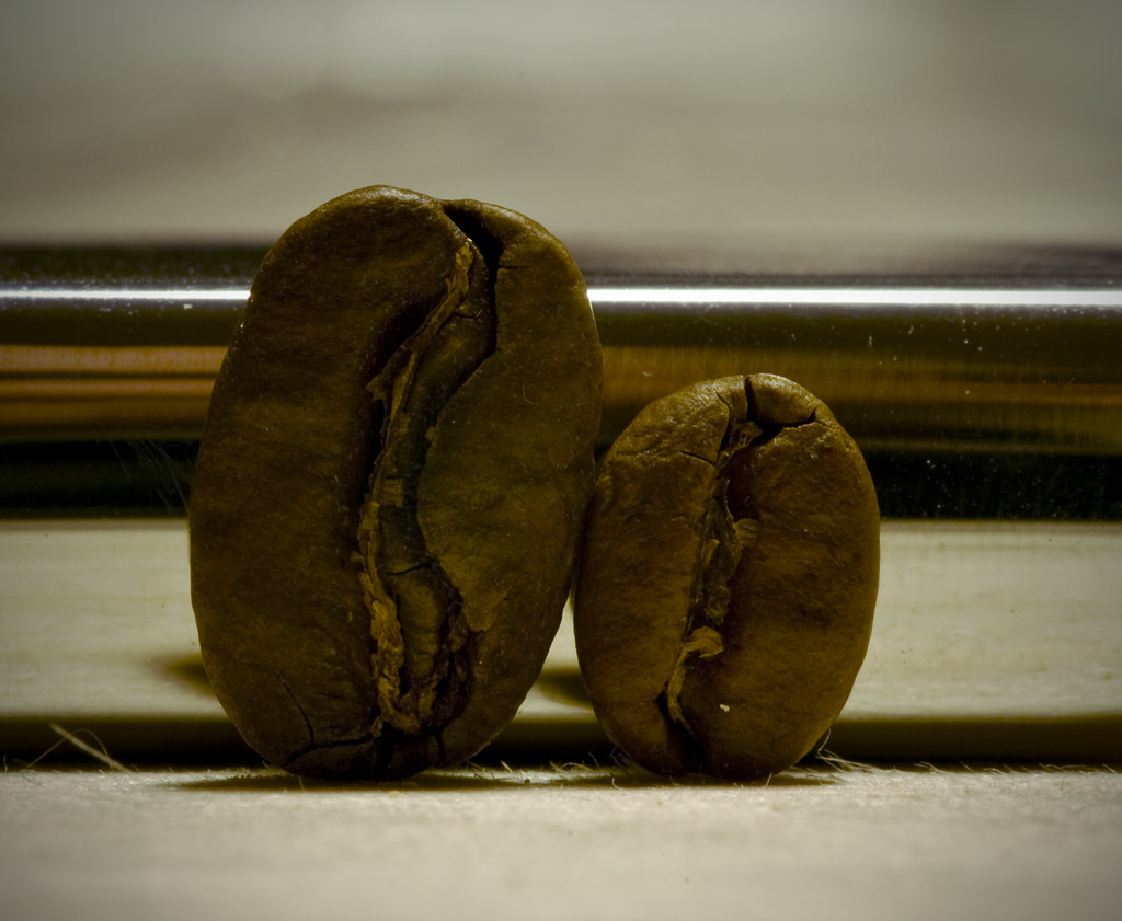 Maragogype the elephant bean  The largest coffeebean in