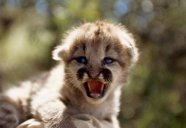 Cute Baby Wallpaper Backgrounds Mountain Lion Baby Em Flickr