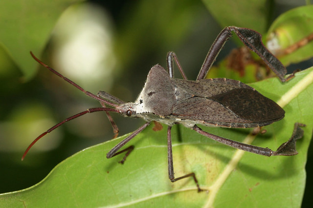 Large Leaf Footed Bug This Acanthocephala Declivis Was
