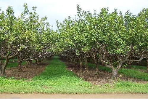 Guava Kai Plantation Kilauea Kauai Hawaii  Guava