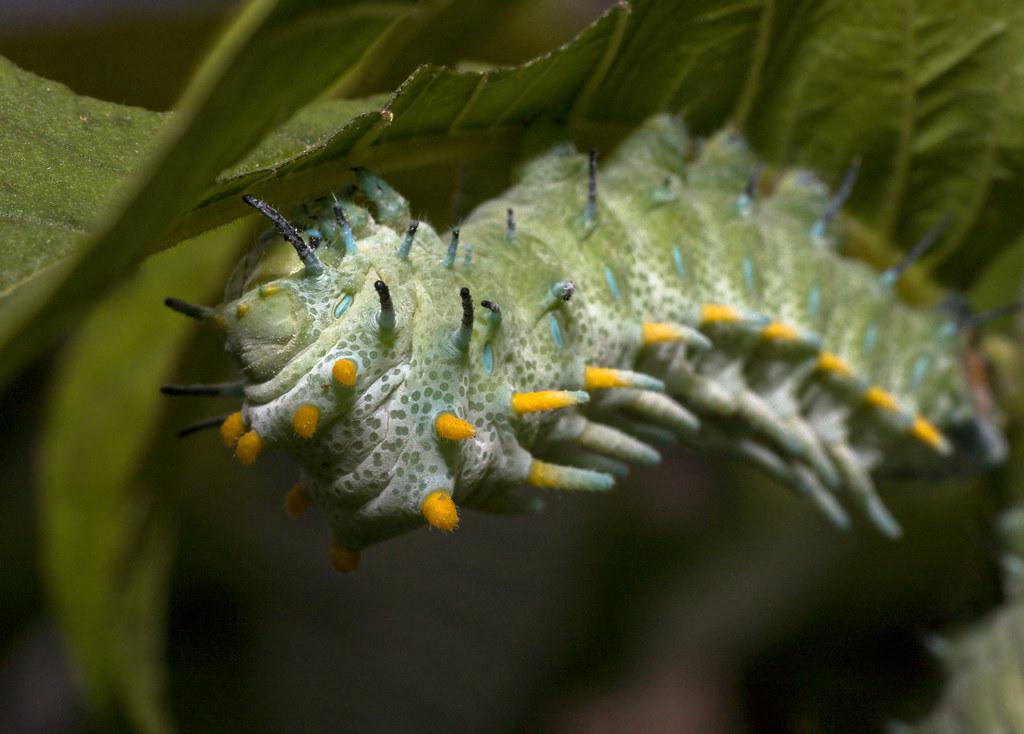 Atlas Moth Attacus Atlas Caterpillar Chenille De Papil
