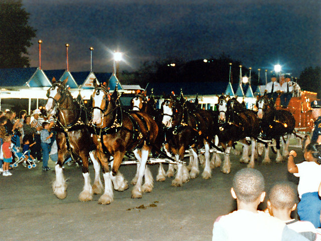Budweiser Clydesdales In Parade State Fair Of Texas 1995