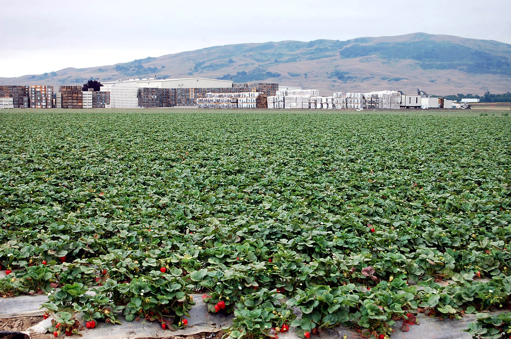 Strawberry Fields Forever  Uesugi Farms near Gilroy
