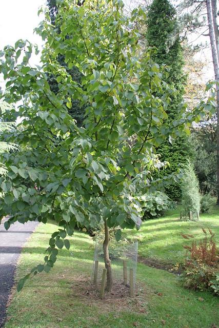 2008 10 18 123 Handkerchief Tree Davidia Involucrata Var