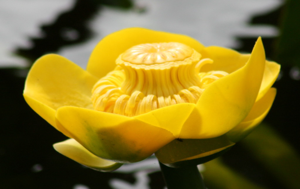 Spatterdock Yellow Cow Lily Nuphar Polysepala Blooming O Flickr