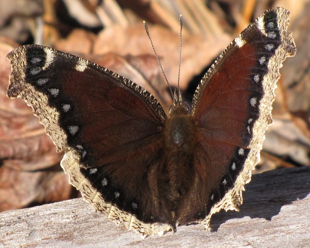 New Year's Mourning Cloak