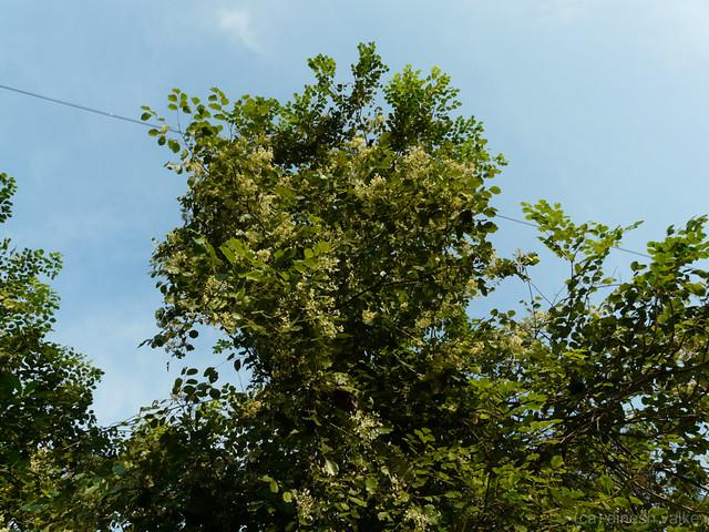 Beete (Kannada: ಬೀಟೆ) | Fabaceae (pea or legume family ...
