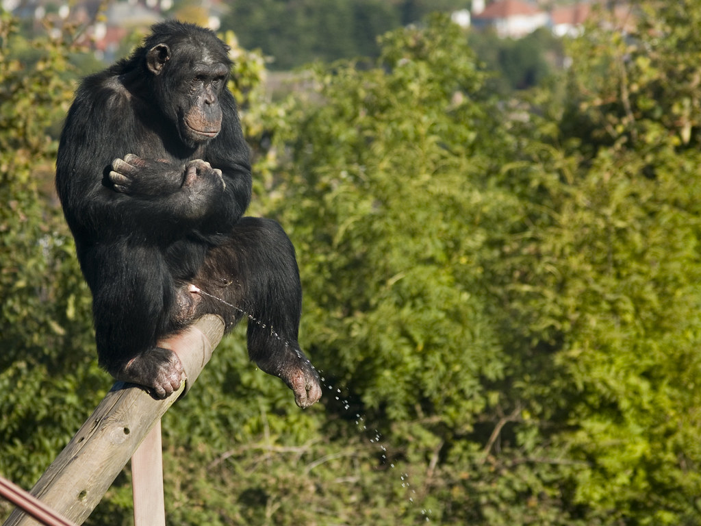 Chimpanzee Urinating  This cheeky chimp is having a wee