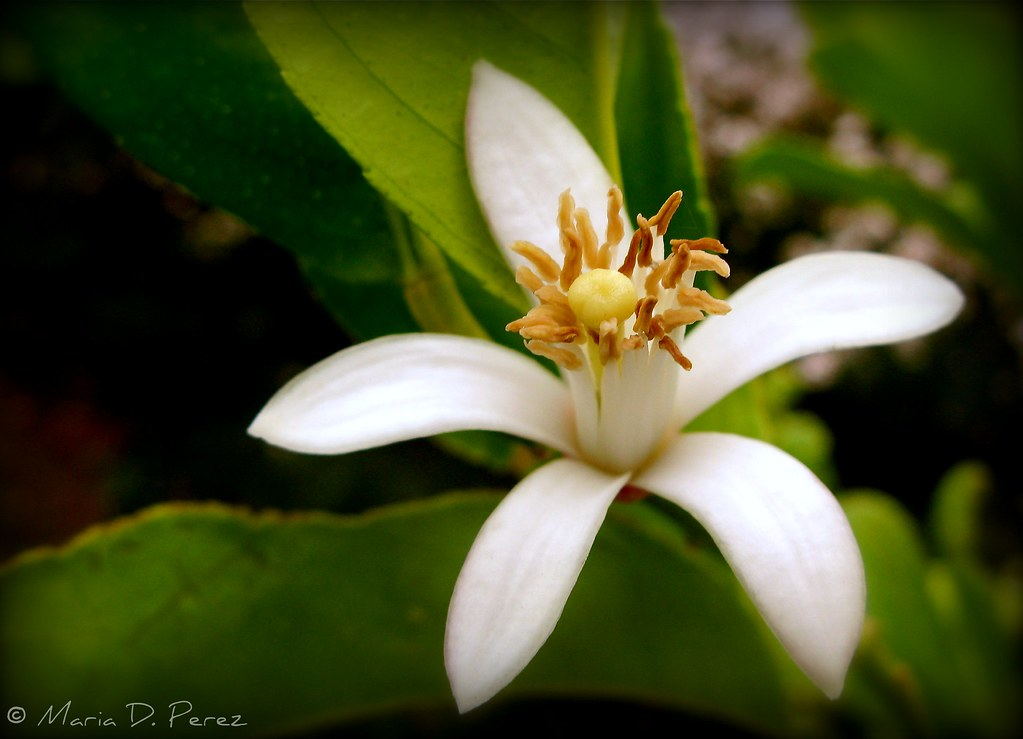 Flor de Limon  From my garden to your home this little lem  Flickr