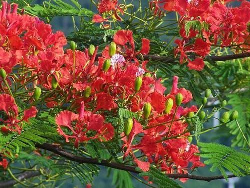 3d Island Wallpaper The Flamboyant Flower The National Flower Of St Kitts