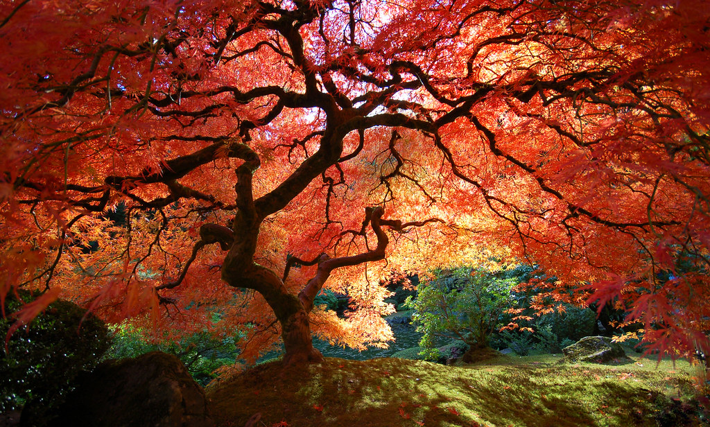 Fall In Love Leaf Wallpaper Japanese Maple In Autumn The Famous Japanese Maple Tree