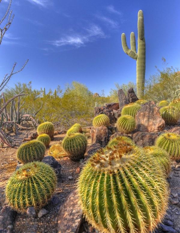 golden barrel & saguaro cactus