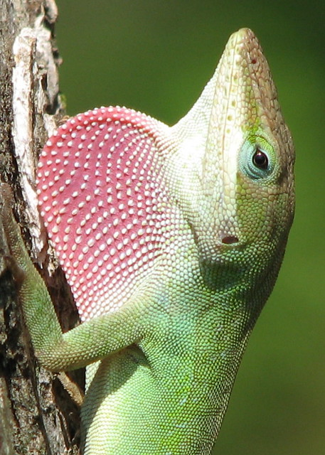 Quot Strawberry Quot The Green Anole In Full Display As I Talk To