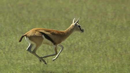 Africa Map 3d Wallpaper Female Thomson S Gazelle Running John Hallam Flickr