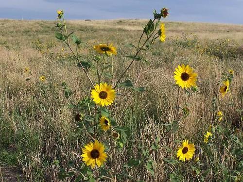 Yellow Wild Flower Fields