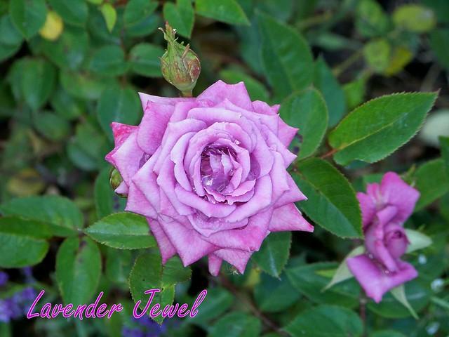 Lavender Jewel Mini rose pic taken 409 gmaroses Flickr