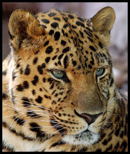 Orange Color Wallpaper Hd Amur Leopard Portrait The Amur Leopard Panthera Pardus