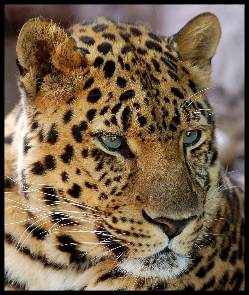 Africa Map 3d Wallpaper Amur Leopard Portrait The Amur Leopard Panthera Pardus