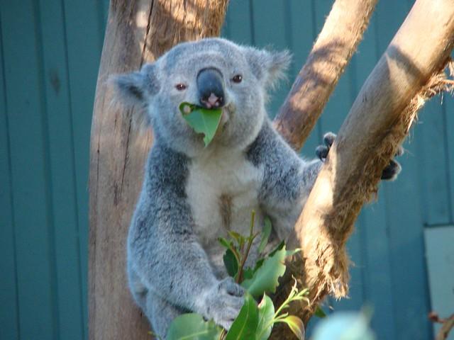 Koala Bear at Taronga Zoo  The Koala Phascolarctos