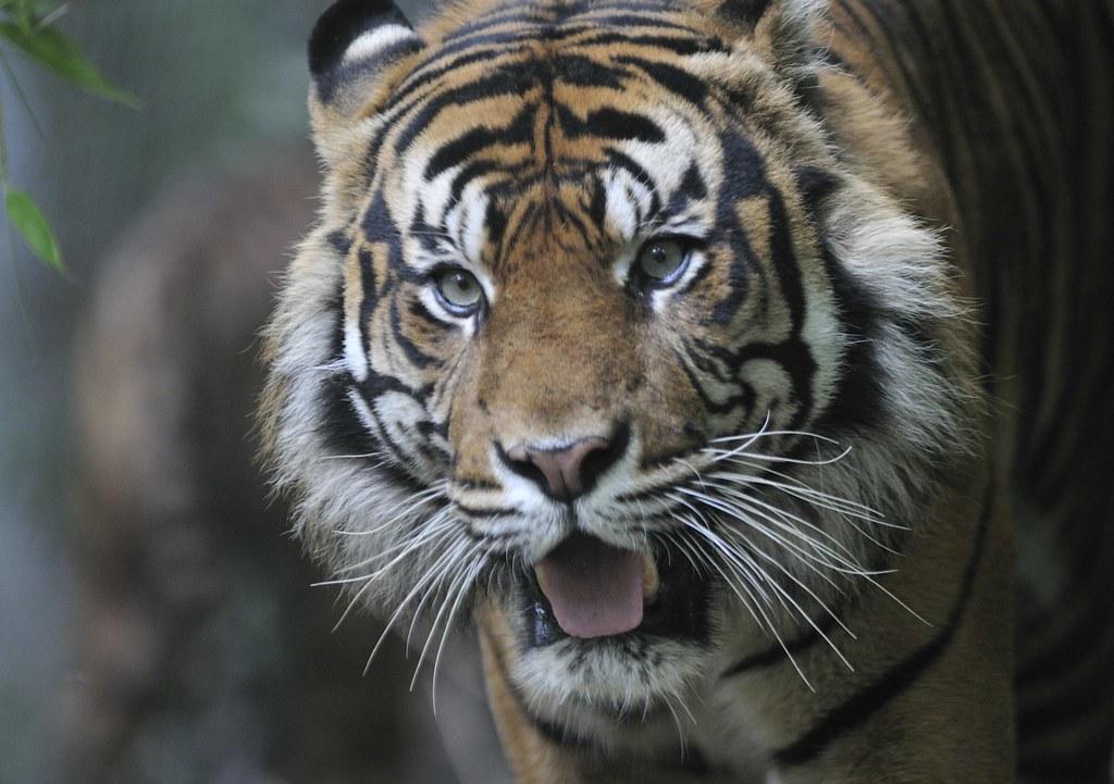 Sumatran Tigers Sumatra Tiger Panthera Tigris Sumatrae