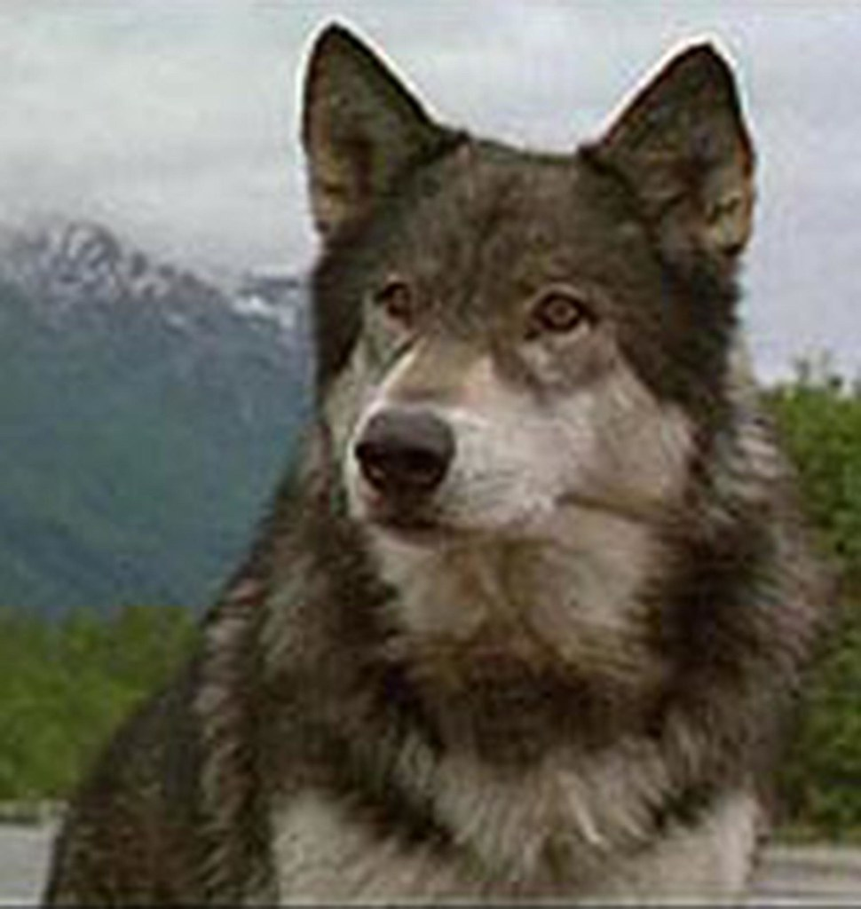 White Fang  From the Book White Fang  White Fang
