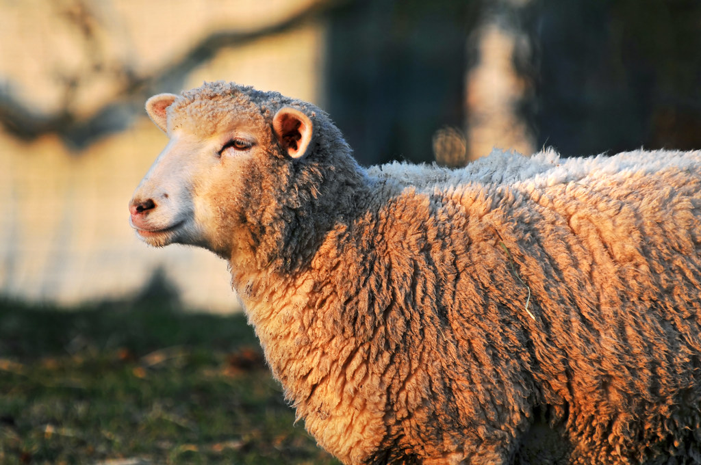December Wallpaper Cute Profile Of A Sheep Another Sheep Picture Also In The