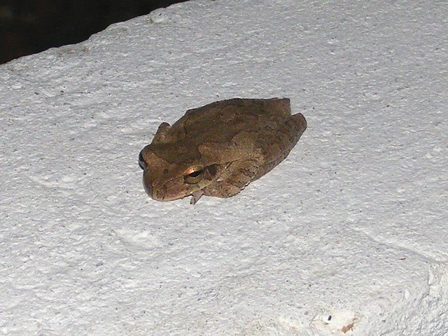 Tree frog sounds at night myideasbedroom com