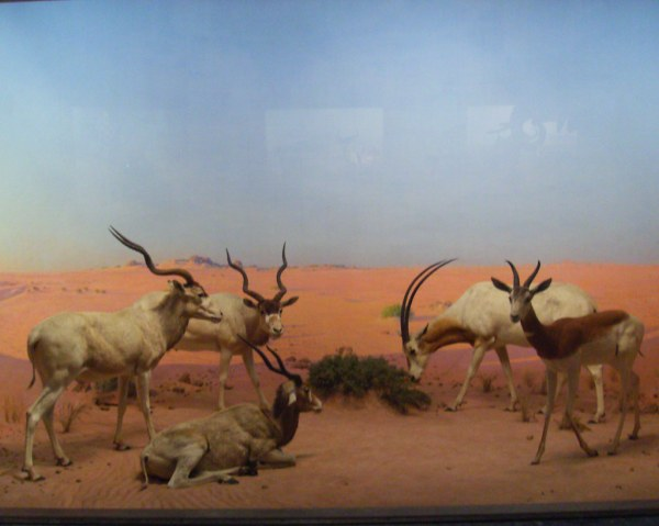 Hall Of African Mammals American Museum Natural History