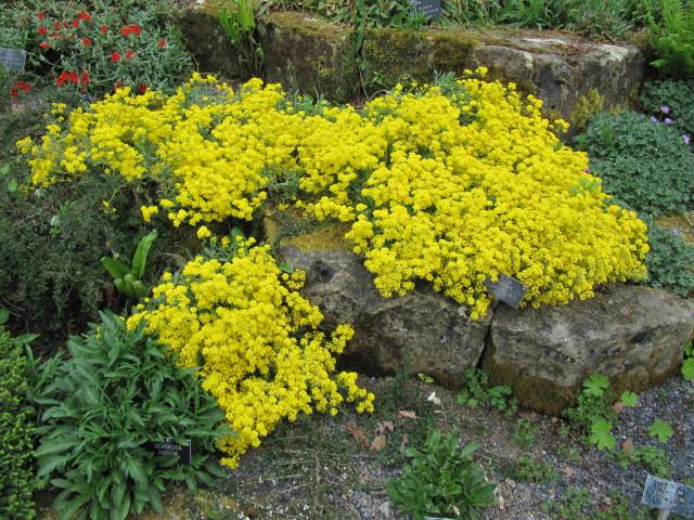 Alyssum saxatile at Wisley  Alyssum saxatile Aurinia saxat  Flickr
