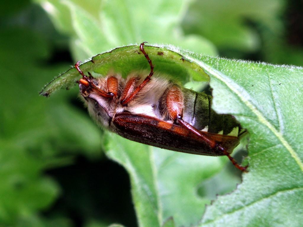 Sanjuanero del castao  comedor de hojas  European cockc