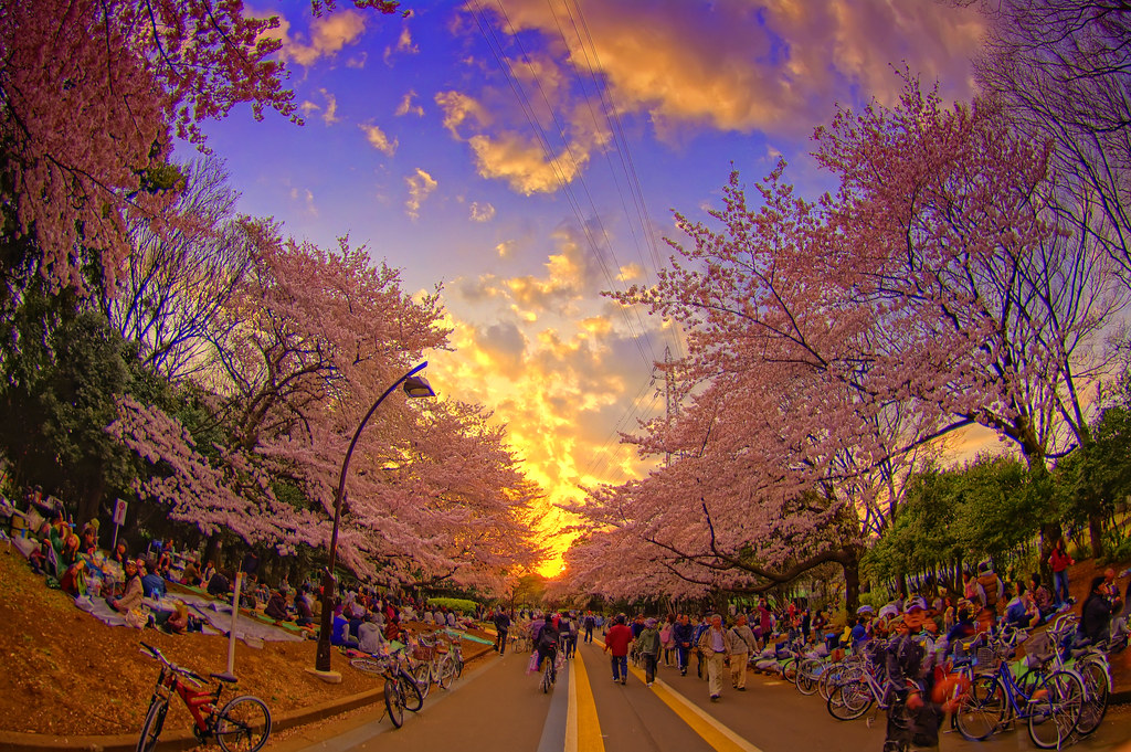 Romantic 3d Wallpaper Tokyo Cherry Blossom Am Interupting The Shots From Nz To