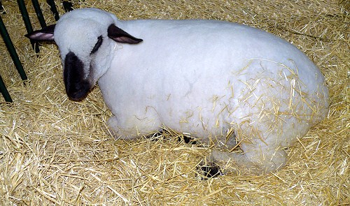 HAMPSHIRE DOWN SHEEP  Ovino Hampshire Down  500   Flickr