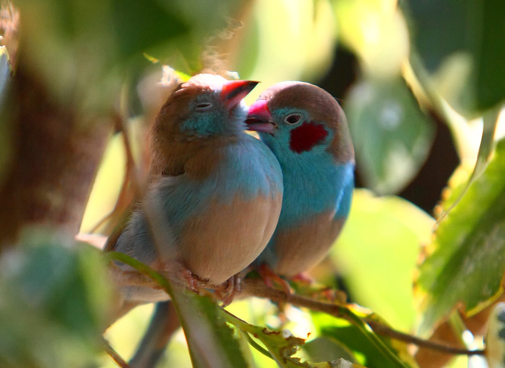 Cute Small Couple Wallpaper Hd Birds In Love A Pair Of Red Cheeked Cordon Bleu S