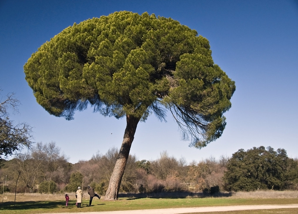 pino invernal pino pionero  Pinus pinea  Boadilla del