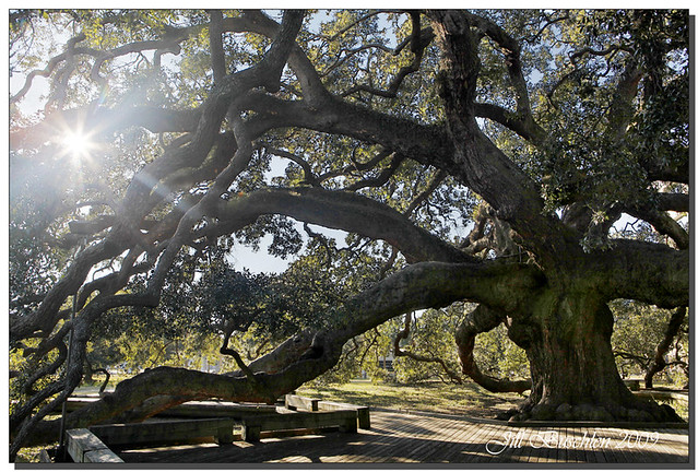 Treaty Oak  This big ass tree is located in Jacksonville Fl  Flickr