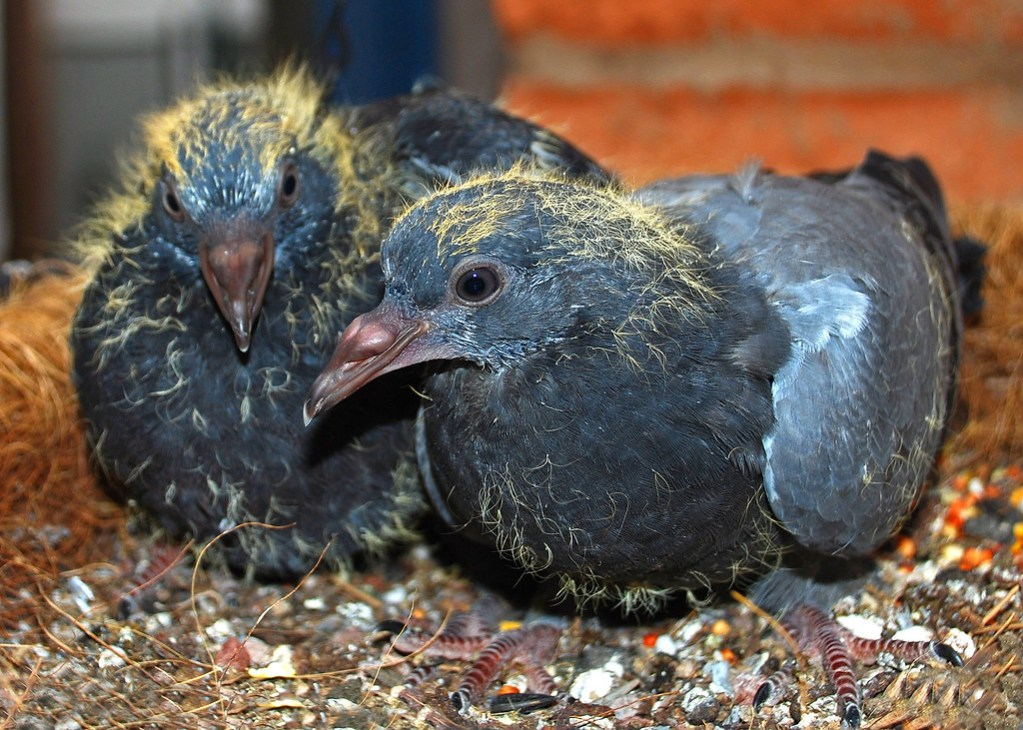 Baby Pigeons 3 and 1/2 Weeks Old   Please View Large On ...