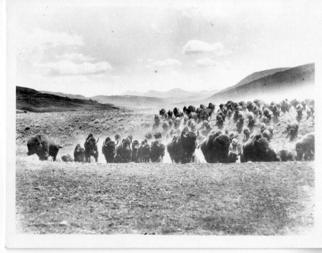 Đàn bò rừng (bison). Các quần thể bò rừng châu Mỹ đã từng rất đông đảo cho đến khi con người đặt chân đến lục địa này. Nay có nhiều động thái để bảo tồn loài này. Nguồn: Flickr.
