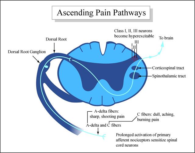 Ascending Pain Pathways   Diagram showing how pain moves