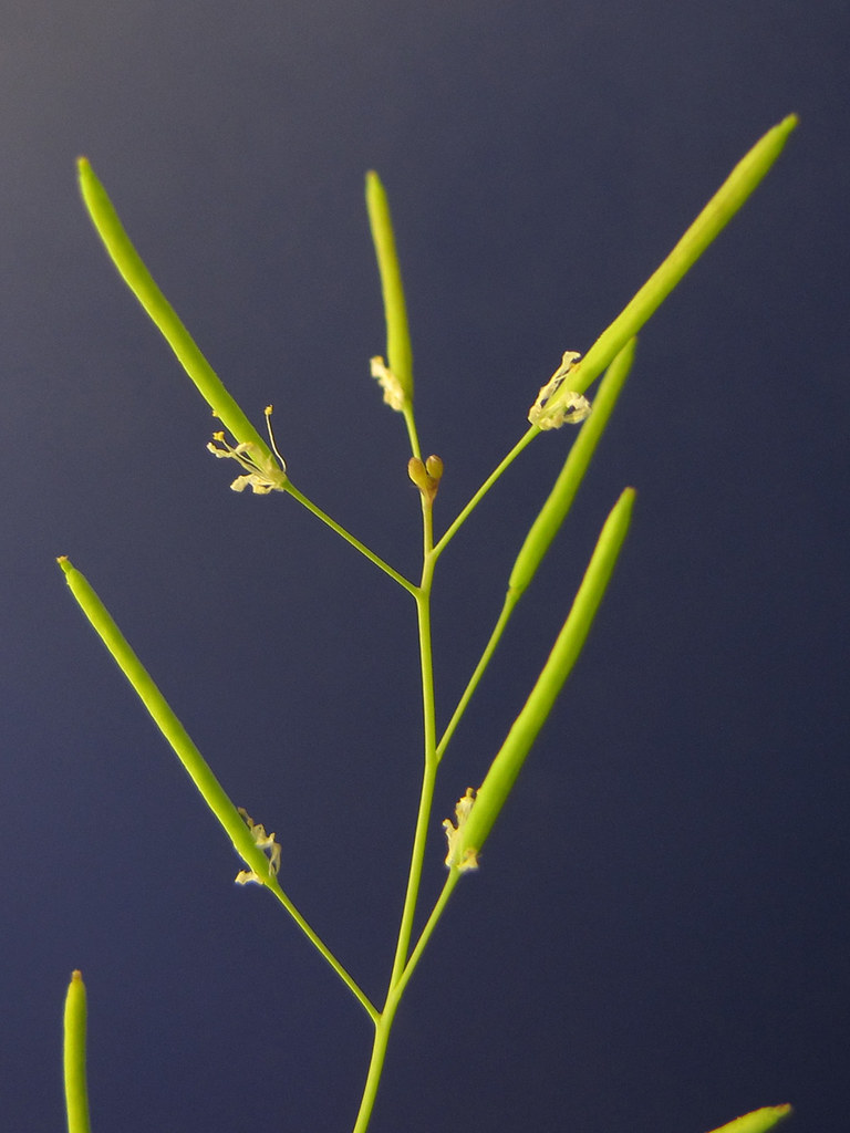 Arabidopsis fruits  Arabidopsis thaliana fruits siliques   Flickr