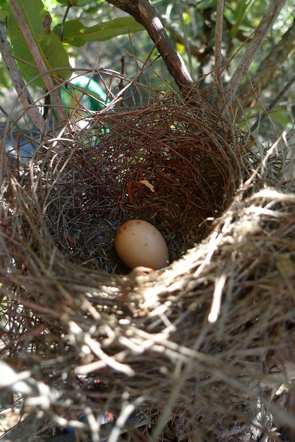 Little wattle bird nest and egg  During a break on our