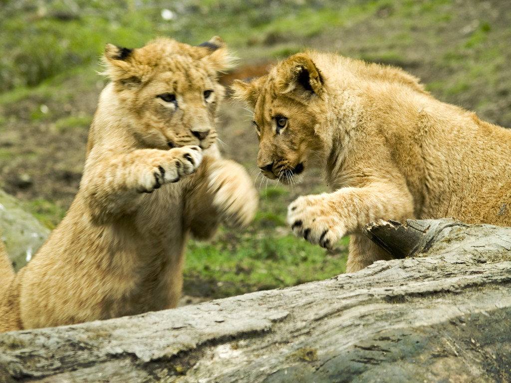 Lion Cubs At Play  The Lions at Knowsley Safari Park Most   Flickr