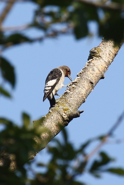 Female Redheaded Woodpecker Melanerpes erythrocephalus