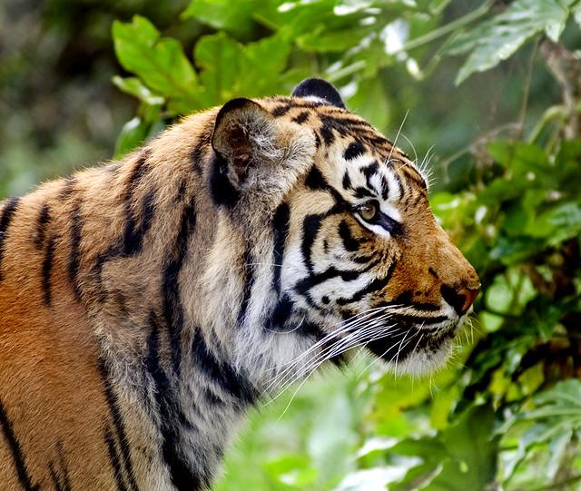 3d Gif Wallpaper For Mobile Sumatran Tiger Profile The Chester Zoo Tigers Finally