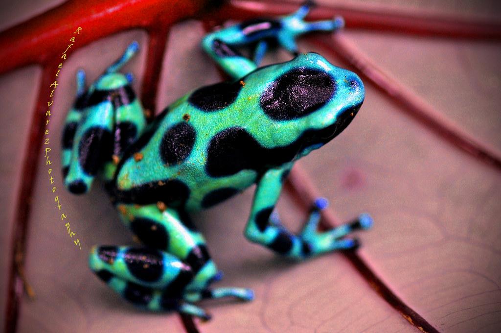 Green Dart Poison Frog  Costa Rica  Green poison dart