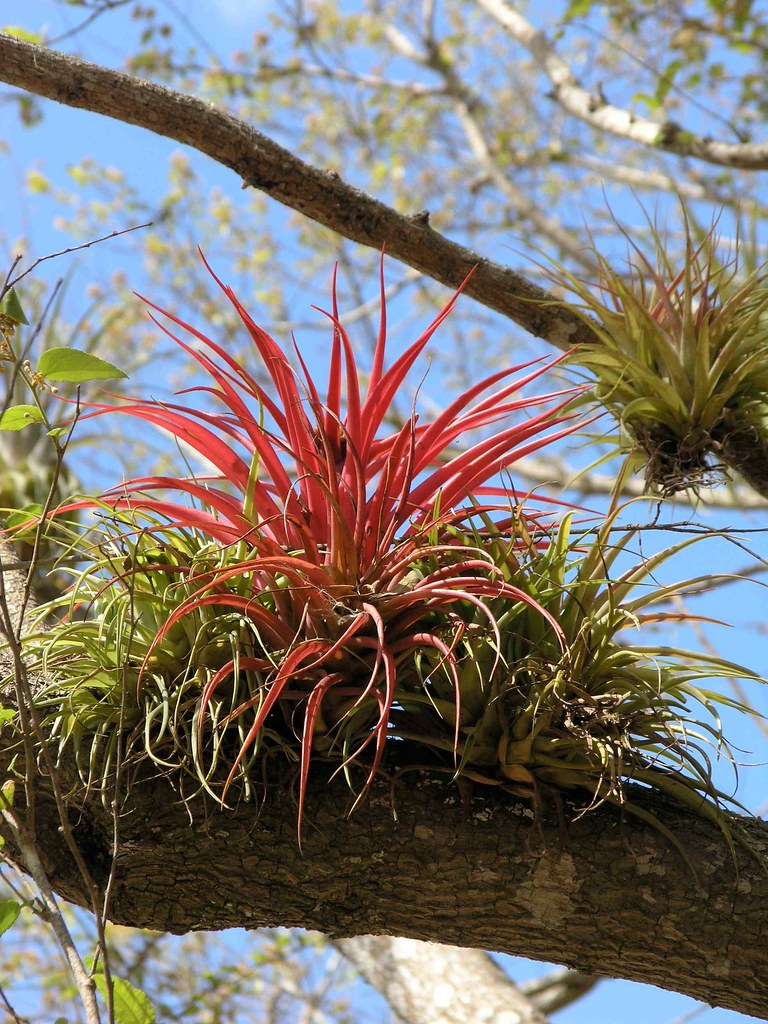 Epifitos Close Up Of Epiphyte In Tree Camino Entre Boac