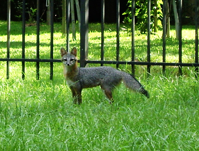 Gray Fox Tomball Texas 0815091025  This morning I was